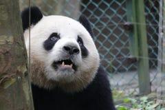 Пушистая гигантская панда в Китае Стоковые Изображения RF