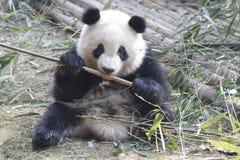 Пушистая гигантская панда ест бамбуковые листья с ее Cub, Чэнду, Китаем Стоковые Изображения RF