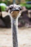 Пушистая голова страуса Стоковое Изображение