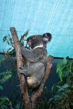 Пушистая коала есть евкалипт на дереве под крышей Стоковые Фотографии RF