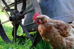 Пушистая курица Брайна стоковые изображения rf