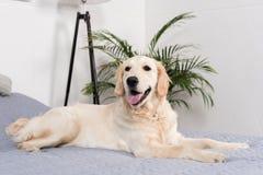 Пушистая собака золотого retriever лежа на кровати Стоковые Фотографии RF