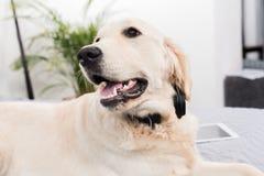 Пушистая собака золотого retriever лежа на кровати Стоковая Фотография RF