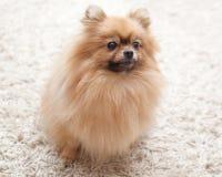 Пушистая собака Pomeranian сидя на бежевом ковре Стоковая Фотография RF