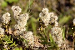 Пушистая трава Стоковые Фотографии RF