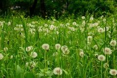 Пушистое поле цветка одуванчика для обоев Стоковые Изображения