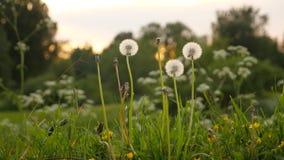 Пушистое семя одуванчика возглавляет цветки, лезвия травы, конец вверх акции видеоматериалы