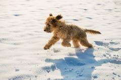 Пушистые бега щенка briard на снеге Стоковые Изображения RF