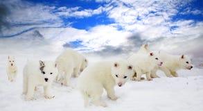 Пушистые белые щенята лайки стоковые фотографии rf