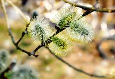 Пушистые бутоны на ветви вербы Стоковая Фотография