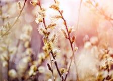 Пушистые ветви вербы Стоковая Фотография RF