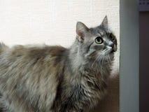 Пушистые взгляды кота в направлении стоковое изображение