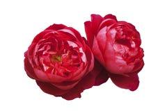 Пушистые красные розы, на белизне изолировали предпосылку, конец-вверх Стоковые Фотографии RF