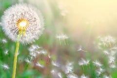 Пушистые одуванчики накаляют в лучах солнечного света на заходе солнца в природе на луге Красивые цветки одуванчика весной в поле стоковая фотография rf