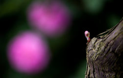 Пушистые розы и grapy бутон Стоковые Изображения