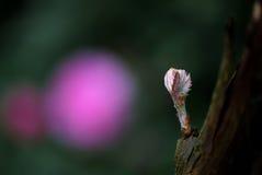 Пушистые розы и grapy бутон Стоковая Фотография