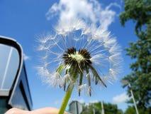 Пушистые семена одуванчика против крупного плана голубого неба стоковые изображения rf