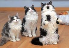 Пушистые сибирские котята белые с черным и с серым цветом стоковые фото