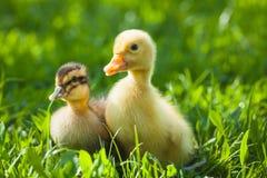 Пушистые цыпленоки идут в зеленую траву Стоковые Изображения