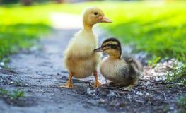 Пушистые цыпленоки идут в зеленую траву Стоковая Фотография