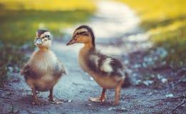 Пушистые цыпленоки идут в зеленую траву Стоковые Фотографии RF