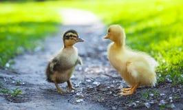 Пушистые цыпленоки идут в зеленую траву Стоковое Изображение RF