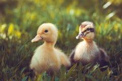 Пушистые цыпленоки идут в зеленую траву Стоковое фото RF