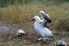 Пушистый белый голуб-footed цыпленок олуха Стоковое фото RF