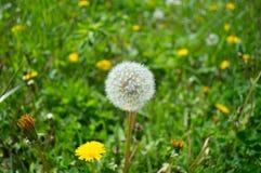 Пушистый белый одуванчик в траве стоковая фотография rf