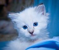Пушистый белый котенок Стоковое Изображение
