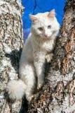 Пушистый белый кот с различными глазами Стоковая Фотография RF