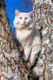 Пушистый белый кот с различными глазами Стоковая Фотография