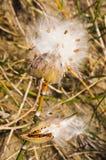 Пушистый белый стручок семени Стоковое Изображение RF