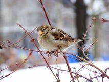 Пушистый воробей и первый снег Стоковые Фото
