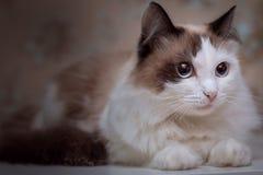 Пушистый голубоглазый кот лежит и смотрит в расстояние стоковое фото