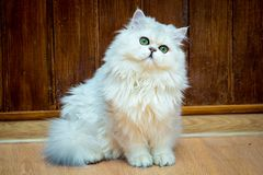Пушистый длинн-с волосами великобританский кот серебряного цвета с зелеными глазами сидит и смотрит камера стоковые фото