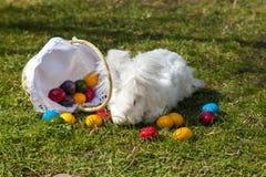 Пушистый зайчик angora пасхи с пасхальными яйцами Стоковое Изображение