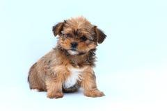 Пушистый коричневый и белый щенок на белой предпосылке Стоковые Изображения RF