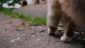 Пушистый кот идя к порогу дома и развевая его кабель акции видеоматериалы