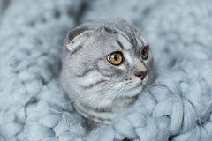 Пушистый кот створки scottish лежа на одеяле шерстей в спальне Стоковое Фото