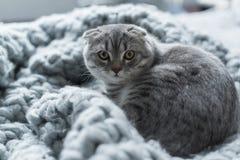 Пушистый кот створки scottish лежа на одеяле шерстей в спальне Стоковые Фото