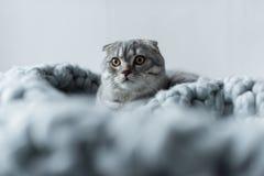 Пушистый кот створки scottish лежа на одеяле шерстей в спальне Стоковое Изображение