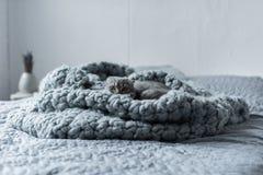 Пушистый кот створки scottish пряча в одеяле шерстей в спальне Стоковое Изображение RF
