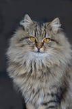 Пушистый кот с желтыми глазами Стоковая Фотография RF