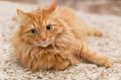 Пушистый кот Стоковые Фото