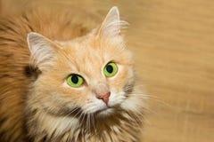 Пушистый красный кот с большим портретом зеленых глаз милого конца-вверх homemaker сидя ждущ обслуживание стоковое изображение