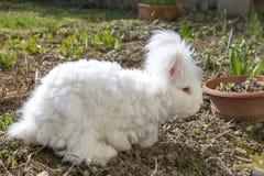 Пушистый кролик angora есть травы на траве Стоковое Изображение RF