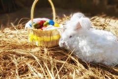Пушистый кролик angora есть травы на траве Стоковые Фотографии RF