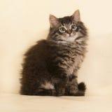 Пушистый малый striped котенок сидя на желтом цвете Стоковое Изображение RF