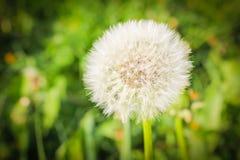 Пушистый одуванчик на предпосылке зеленой травы Clos одуванчика воздуха Стоковые Изображения